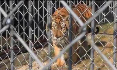 Tiger Tony