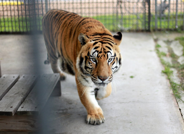 Tony, a Bengal-Siberian tiger, resides at the Tiger Truck Stop in Grosse Tete, LA. Photo Credit: Jennifer Zdon, NY Times