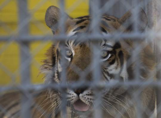 Tony the Tiger looks out of his cage at the Tiger Truck Stop in Grosse Tete on June 20, 2014. Gov. Bobby Jindal signed into law Senate Bill 250, granting an exception for the tiger, but a former state lawmaker and two residents are suing the state, the truck stop and its owner, saying the law is unconstitutional.