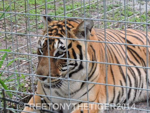 Tiger at Big Cat Rescue - Tampa FL