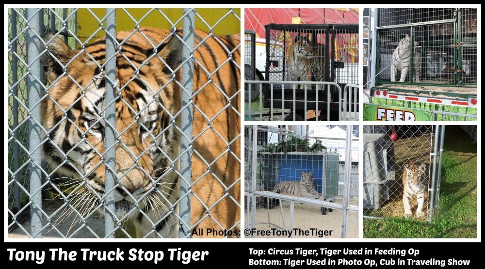 tiger collage