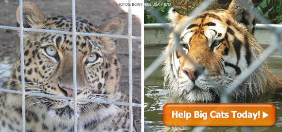 help big cats