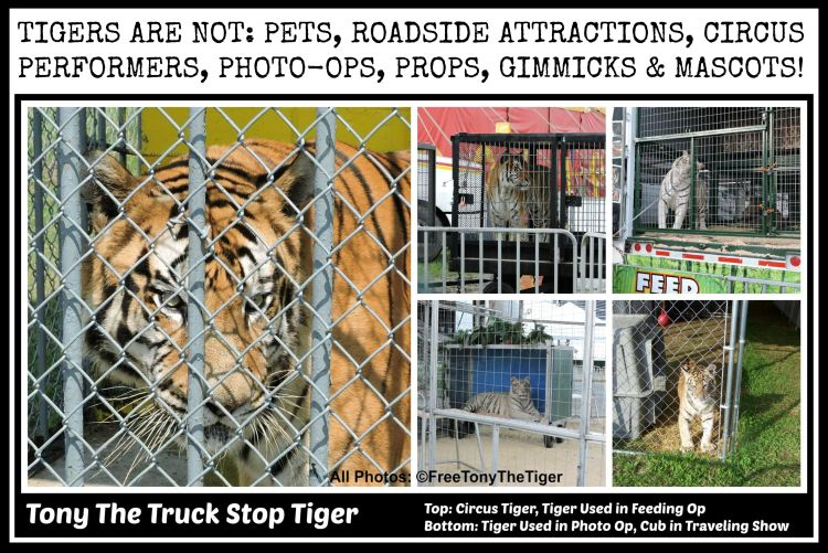 Take action for tigers and big cats! Click the picture and ask your representative to support the Big Cats & Public Safety Act!